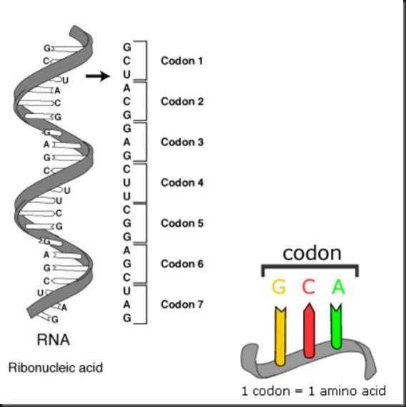 La mutación del gen STAG3 provoca infertilidad en mujeres Image_thumb1