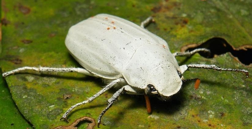 El blanco del Cyphochilus: Una obra magistral de diseño del Padre. F5d1f-untitled
